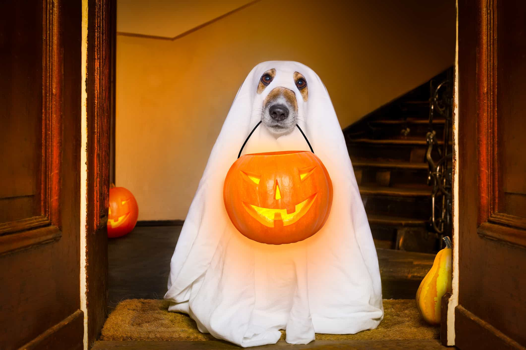 A dog dressed as a ghost goes trick-or-treating on Halloween